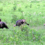 Turkeys in the Elk & Bison Prairie, Land Between the Lakes.