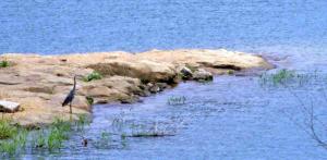 Heron at Rough River Dam State Park