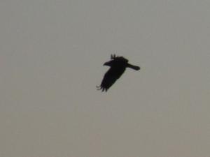 Osprey flying over Rough River Lake