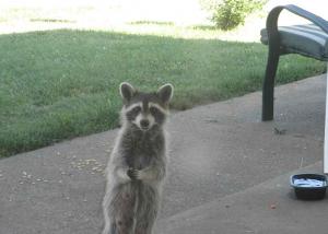 "Adorable Raccoon. ""Agatha Christie"""