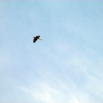 Panther Creek Park Goose Flying Overhead