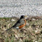 Robin at Panther Creek Park, Owensboro