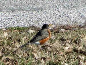 Robin at Panther Creek Park, Owensboro
