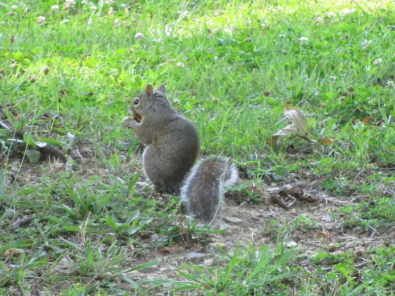 Squirrel at Rough River Dam State Resort Park