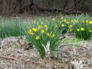 Daffodils in Land Between the Lakes, March 2013