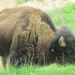 Bison in the Elk & Bison Prairie, Land Between the Lakes