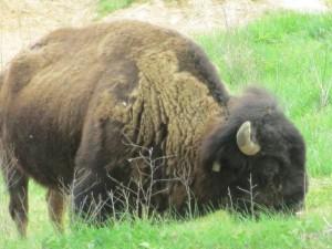 Bison in the Elk & Bison Prairie, Land Between the Lakes