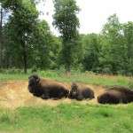 Bison at the Elk & Bison Prairie