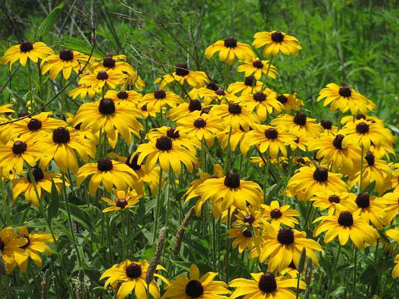 Black Eyed Susans at Rough River Dam State Resort Park
