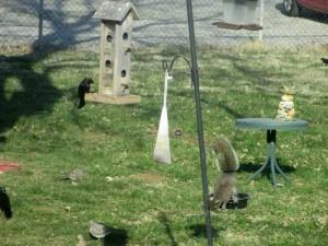 Squirrels at Squirrel Feeders