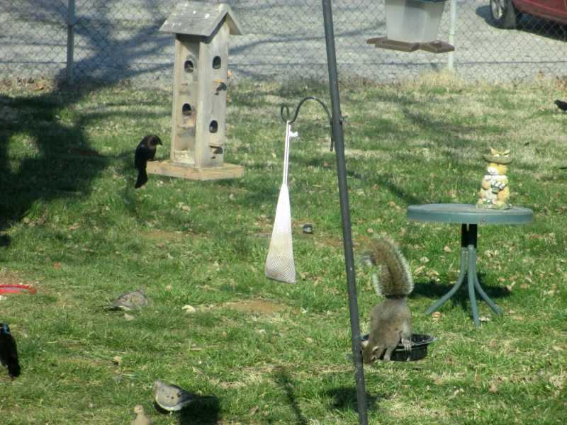 Squirrels at Squirrel Feeders