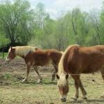 Horses in Kentucky