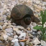 Turtle, Jack C. Fisher Park (Owensboro)