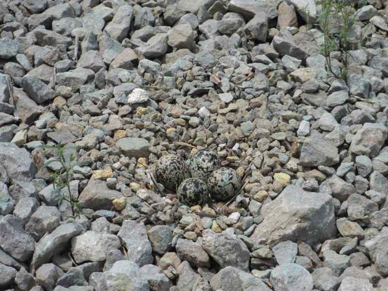 Killdeer Eggs (June 2013)