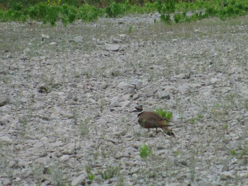 Killdeer (June 2013)