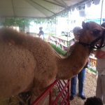 Camel at the Riverfront Fair in Owensboro