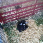 Goat at the Owensboro Riverfront Fair