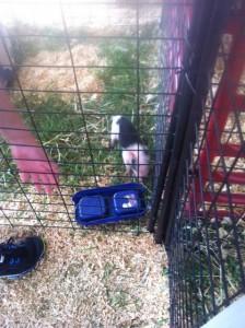 Pig at the Owensboro Riverfront Fair (2013)