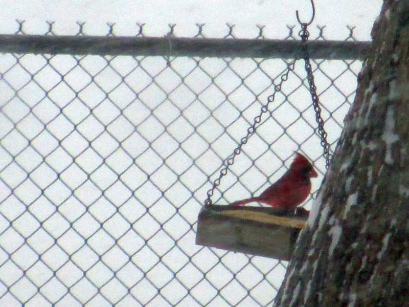 Cardinal in a Swing Feeder