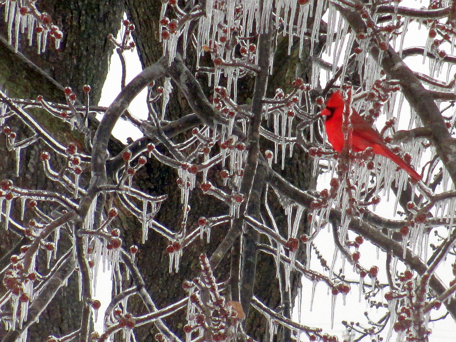 Beautiful Cardinal in Ice Covered Tree