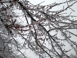Tree Branches Covered in Ice
