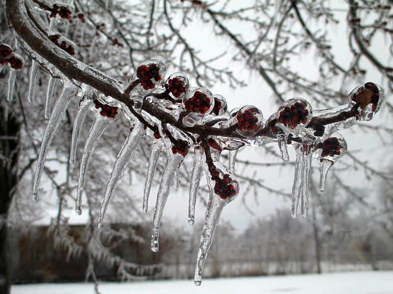 Tree Buds Covered in Ice