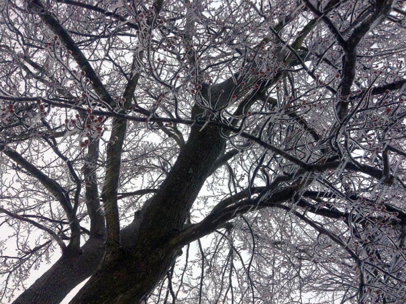 Kentucky Tree Covered in Ice