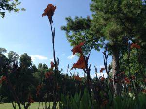 Cannas at Kentucky Dam Village State Park's Golf Course