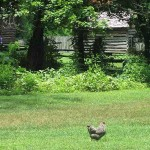 Chicken at The Homeplace, Land Between the Lakes