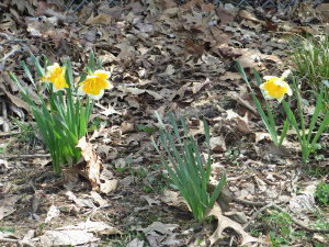 Daffodils in Owensboro