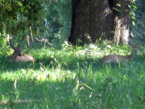 Deer on the Kentucky Dam Village State Park Golf Course