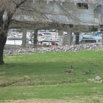 Geese at Green Turtle Bay