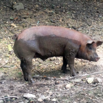 Homeplace Pig!