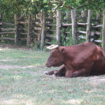 Oxen at The Homeplace, Land Between the Lakes