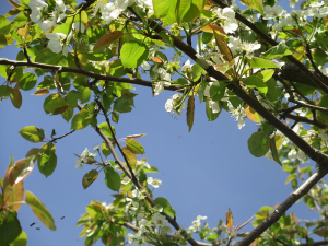 Spring Tree with Bees