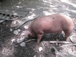 Pigs at the Homeplace, Land Between the Lakes