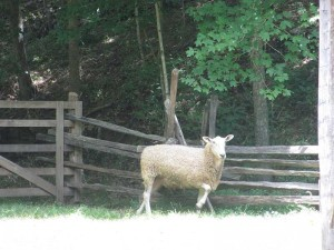 Sheep at The Homeplace, Land Between the Lakes