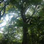 A favorite tree at The Homeplace