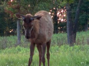 Elk at the Elk & Bison Prairie