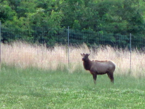 Elk at the Elk & Bison Prairie