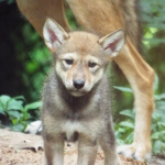 Red Wolf Pup: Nature Station, Land Between the Lakes