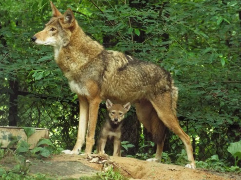 Red Wolves at The Nature Station, Land Between the Lakes