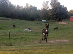 Donkeys in Lewisburg, Kentucky
