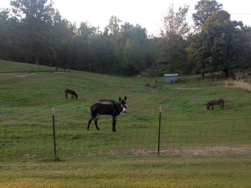 Donkeys in Lewisburg, Kentucky