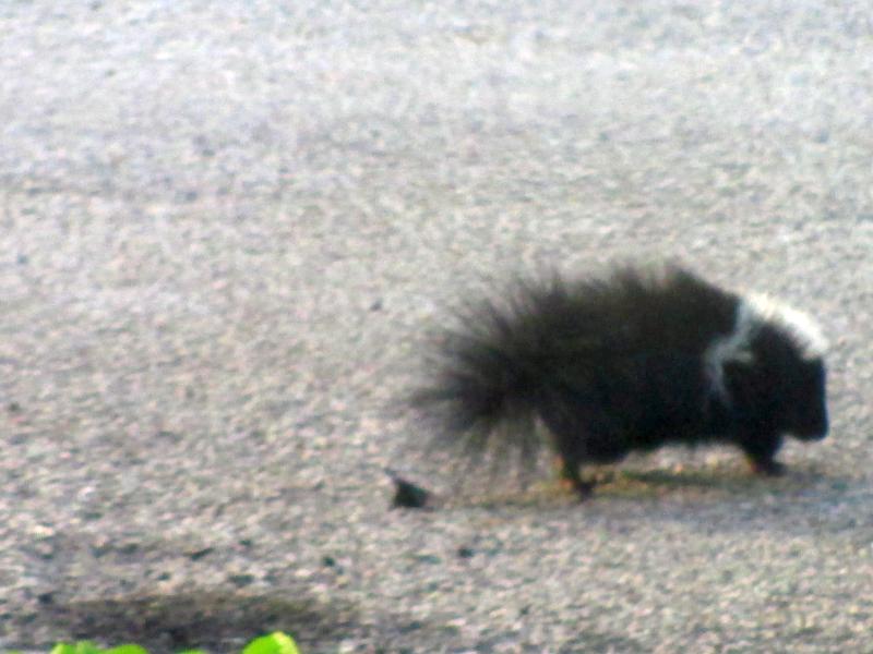 Baby Skunk 2014