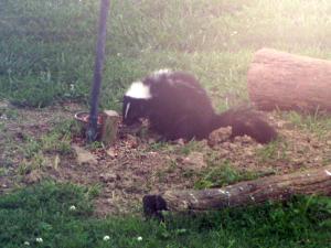 Skunk at Bird feeder