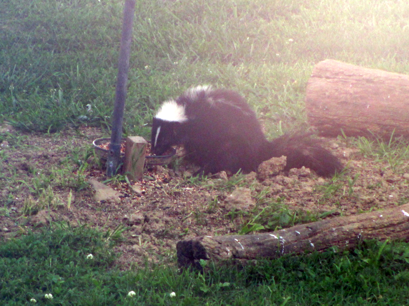 Skunk at Bird feeder