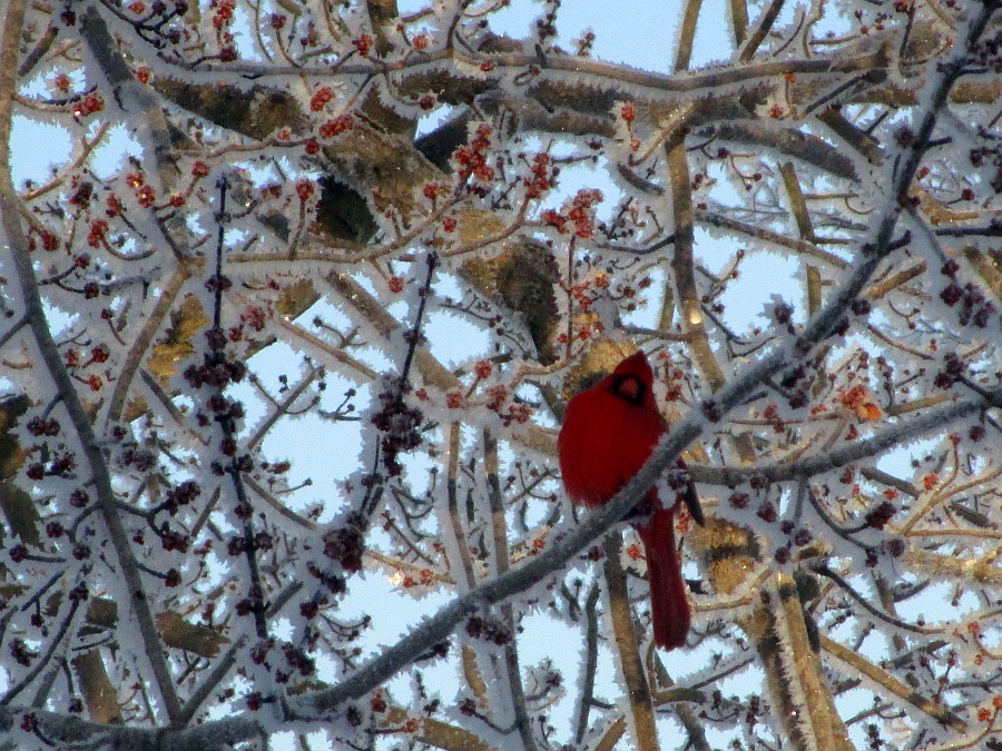 Kentucky cardinal winter storm February 2015