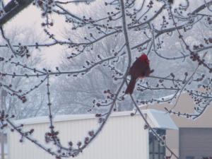 Cardinal Winter Morning 2015