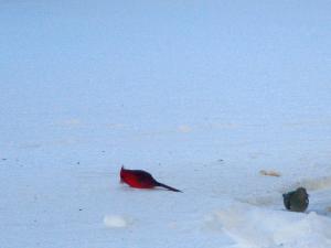 Cardinal and Dove Winter Morning Feb 2015